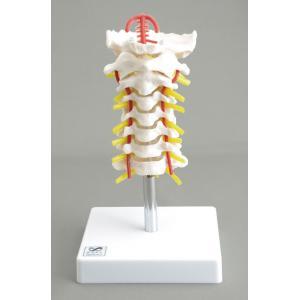 アシスト 頚椎模型(実物大) 14407 P12Sep14