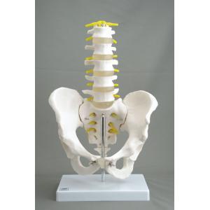 アシスト 骨盤腰椎模型 14409 P12Sep14