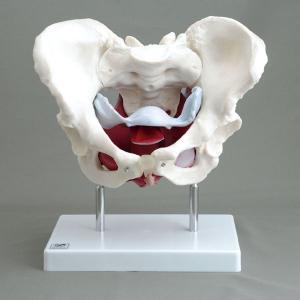 アシスト 女性骨盤模型 14410 P12Sep14