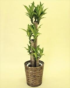 幸福の木は最も一般的な観葉植物です。管理がしやすく、育てやすいので根強い人気があります! 幸福の木バスケット付(代引き不可) P12Sep14