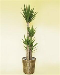 ユッカは葉も強く、観葉植物の中でもスタンダードな種類のひとつ別名:青年の木 ユッカバスケット付(代引き不可) P12Sep14