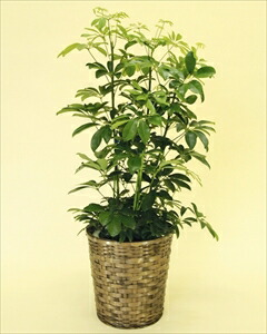 寒さに比較的強い観葉植物です。葉が丸く丈夫なカポックは室内置きにも適しているので、ご自宅はもちろん、贈答用としても大変喜ばれます。 カポックバスケット付(代引き不可) P12Sep14