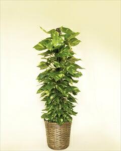 葉の形が「ハート型」の癒し系(!?)な観葉植物。管理のしやすさ、育てやすさもからも人気のポトス! ポトスバスケット付(代引き不可) P12Sep14