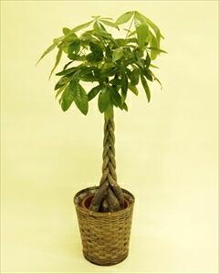 当店一番人気の観葉植物パキラ・編みタイプの8号鉢です!乾燥に強く、室内置きにも適しているので、ご自宅はもちろん、贈答用としても大変喜ばれます。 パキラバスケット付(代引き不可) P12Sep14