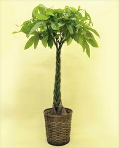 当店一番人気の観葉植物パキラ・編みタイプです!乾燥に強く、室内置きにも適しているので、ご自宅はもちろん、贈答用としても大変喜ばれます。 パキラバスケット付(代引き不可) P12Sep14
