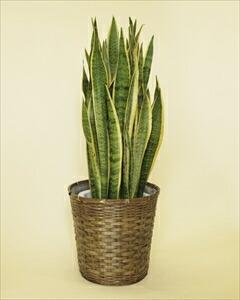マイナスイオンを発散するとして、とても人気のあるサンセベリア。観葉植物の中でも丈夫な種類の植物です!! サンセベリアバスケット付(代引き不可) P12Sep14