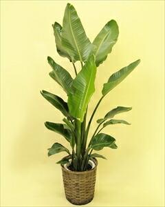 オーガスタの様な大きい葉の植物は蒸散作用が多く、室内に置くと加湿器のような役割をしてくれることから、人気の植物です!! オーガスタバスケット付(代引き不可) P12Sep14