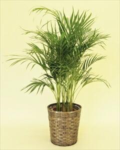 アレカヤシでトロピカルで南国ムードを演出!椰子の仲間の中でも人気の高い観葉植物。寒さに弱いので、室内置きがオススメです! アレカヤシバスケット付(代引き不可) P12Sep14