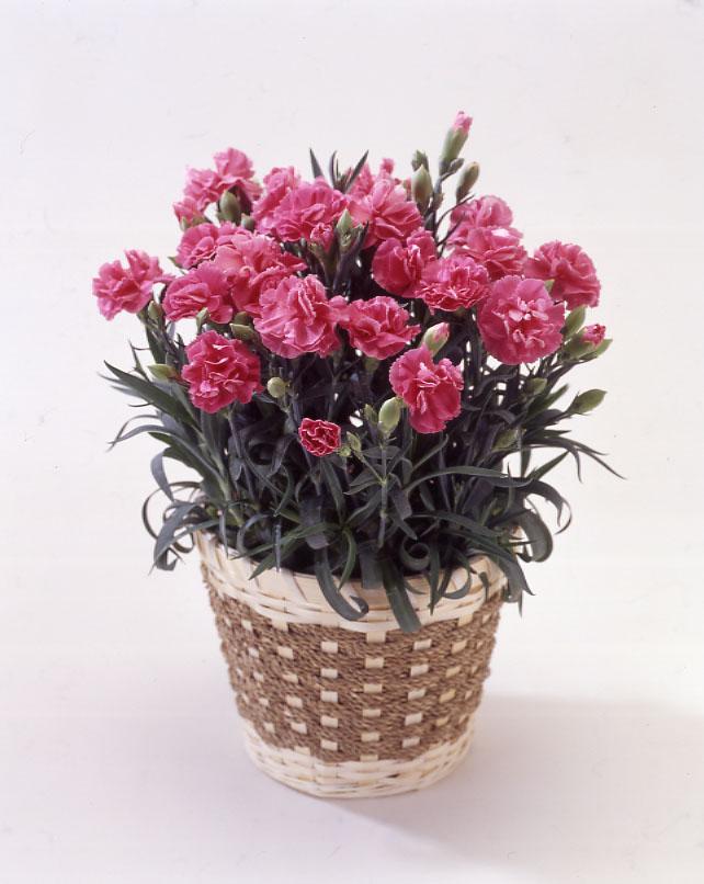 カーネーション ピンク バスケット 母の日 プレゼント