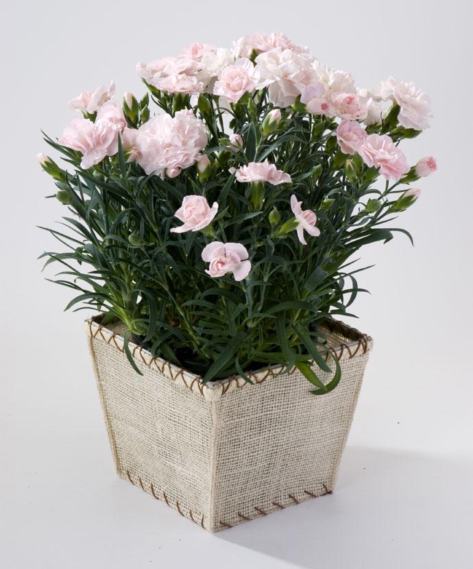 カーネーション ピンク スクエアバスケット 母の日 プレゼント