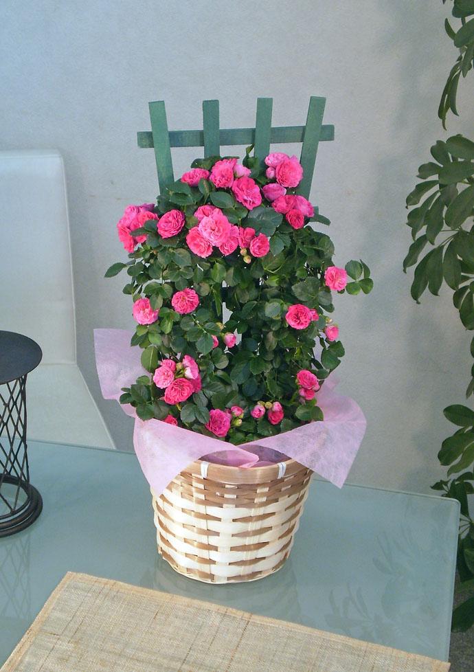 つるバラ キングローズトレリス ピンク 母の日 プレゼント