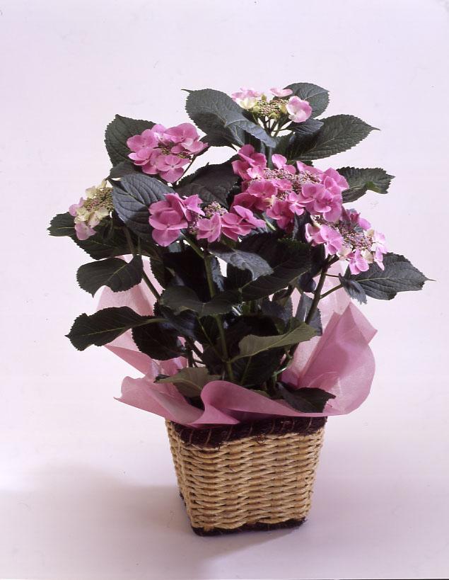 ガクアジサイ ピンク 母の日 プレゼント
