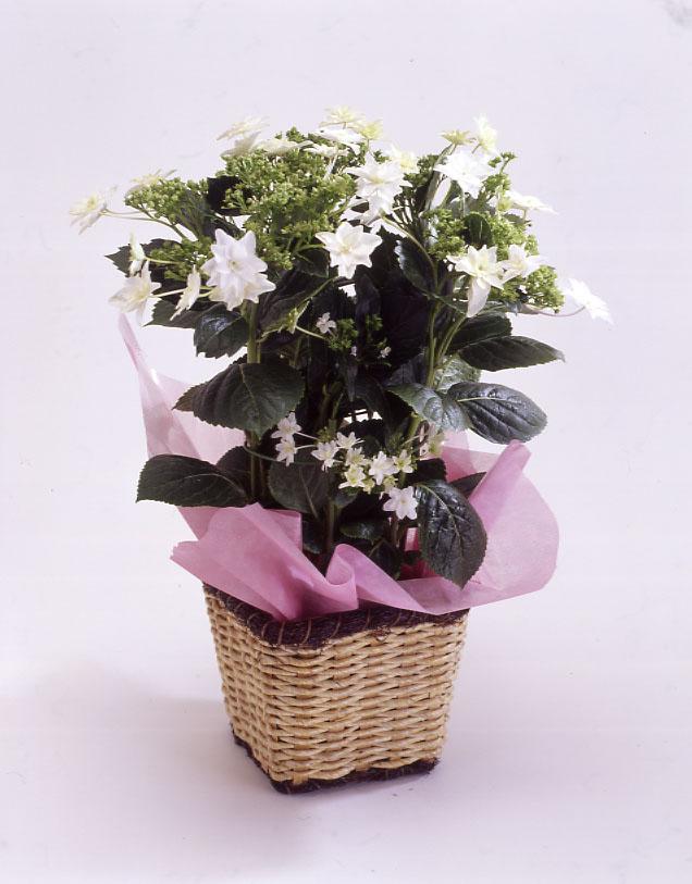 アジサイ 隅田の花火 母の日 プレゼント