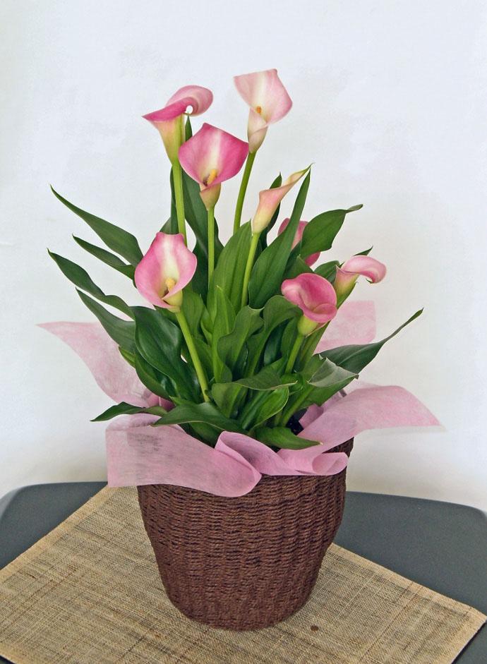 カラー ピンク 母の日 プレゼント