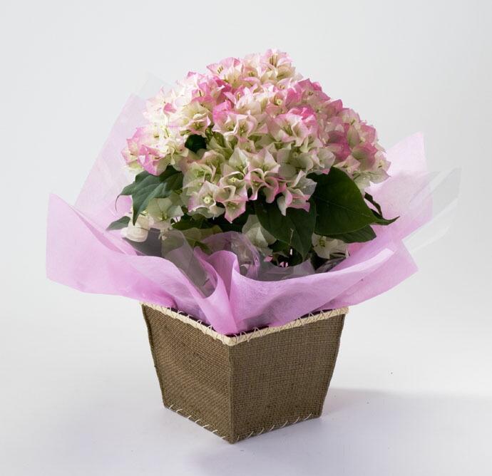 ブーゲンビレア ブライダルピンク 母の日 プレゼント