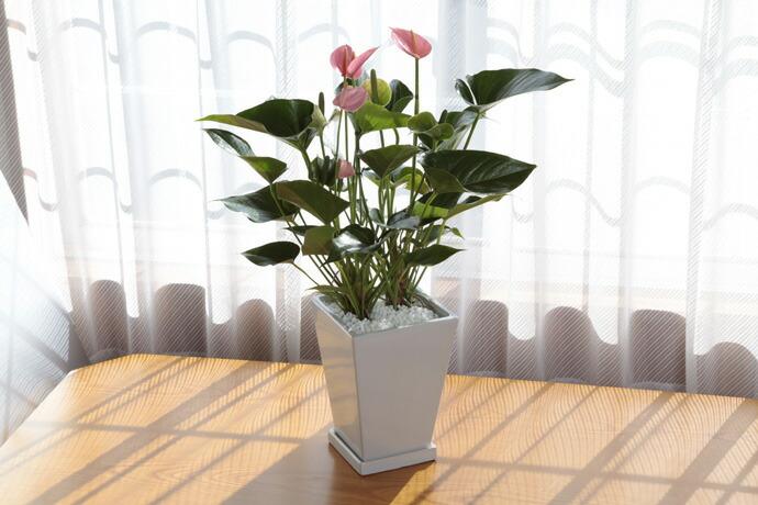 アンスリューム ピンク 母の日 プレゼント