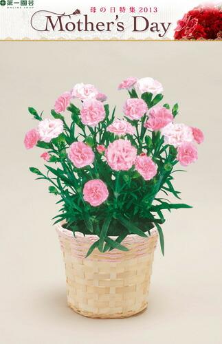 カーネーション ピンク 第一園芸母の日フラワー ※着指定承ります! ※早割特典有 2013
