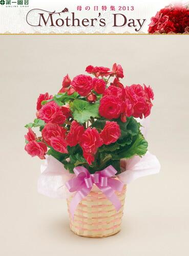 リーガスベゴニア ピンク 第一園芸母の日フラワー ※着指定承ります! ※早割特典有 2013
