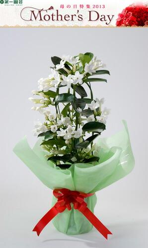 マダガスカルジャスミン 第一園芸母の日フラワー ※着指定承ります! ※早割特典有 2013