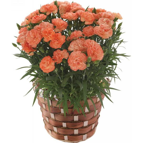 カーネーション鉢植え オレンジドレス 母の日 2014 ギフト 母の日メッセージカード付き(代引き不可)