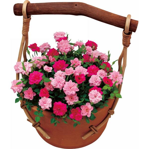 ミニバラ・ストロベリー&ピーチジャム鉢植え 母の日 2014 ギフト 母の日メッセージカード付き SD301(代引き不可)