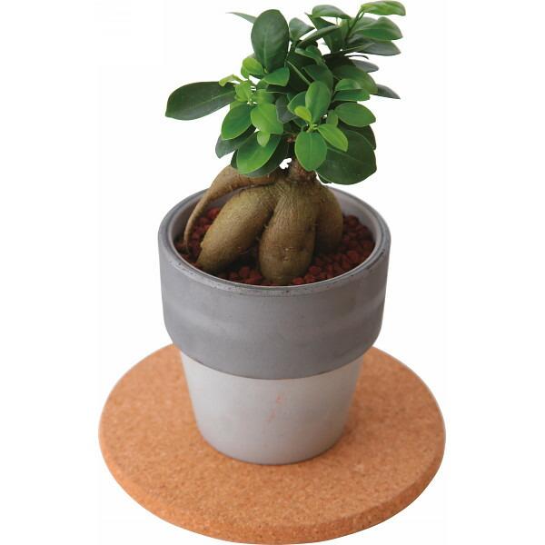 ガジュマル素焼き鉢植え ペアレンツ(代引き不可)