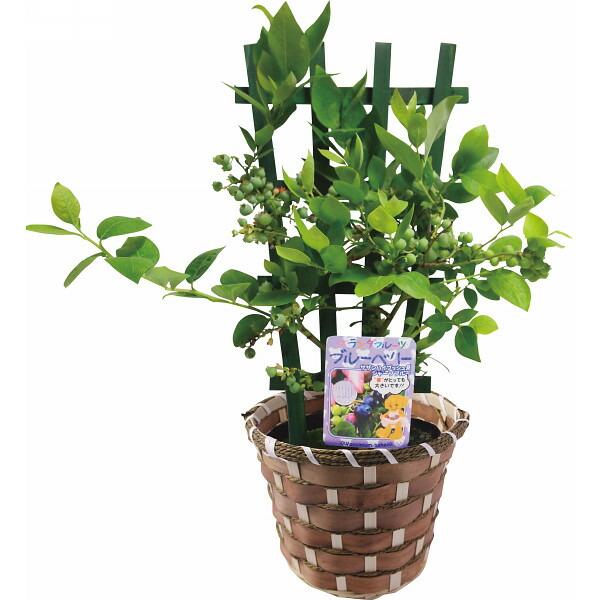 ブルーベリー鉢植え トレリス仕立 ペアレンツ(代引き不可)