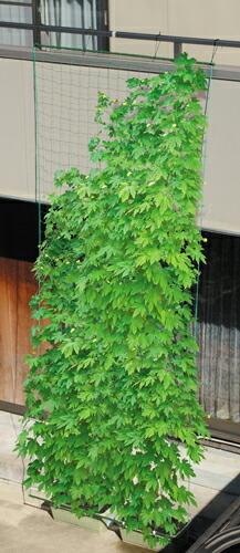 緑のカーテン ネット 吊り下げ 緑のカーテン 吊り下げタイプ 幅180cm(代引き不可) P12Sep14