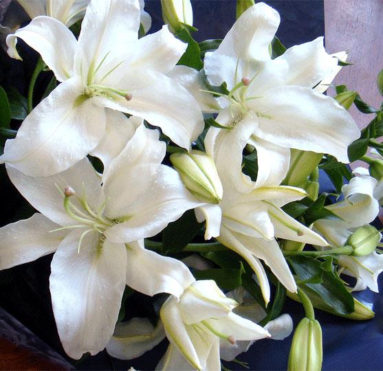 カサブランカ (植物)の画像 p1_26