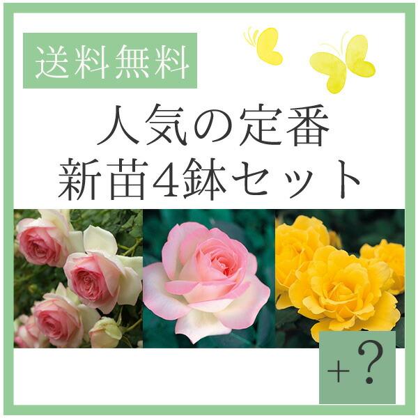 バラ苗福袋 新苗4鉢セット お得なバラ苗セット