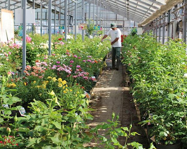 ザ・ローズショップのバラ温室