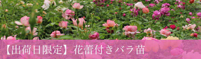 バラの苗 この時期限定 蕾や花付きの花鉢 バラ