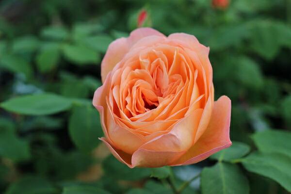 レディエマハミルトンの花