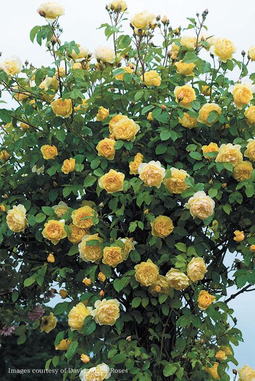 グラハムトーマスのバラ苗