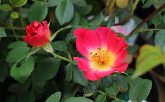 殿堂入りのバラ「カクテル」