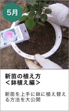 新苗の植替え方 鉢植え
