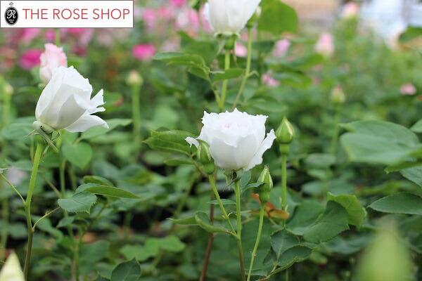 バラの苗ガブリエルの蕾