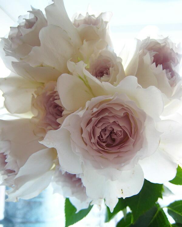 上品な色と香りが人気の河本バラ園のばら「ガブリエル」
