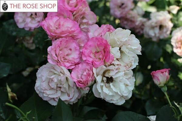 ストロベリーアイスのバラの苗 バラの写真