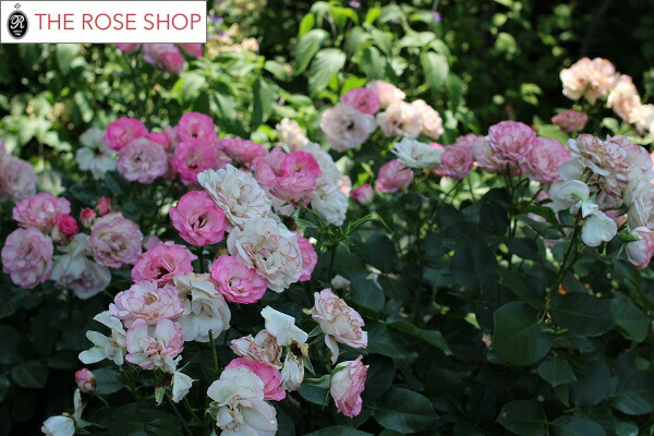 ストロベリーアイスのバラの苗 バラの咲いている様子の写真