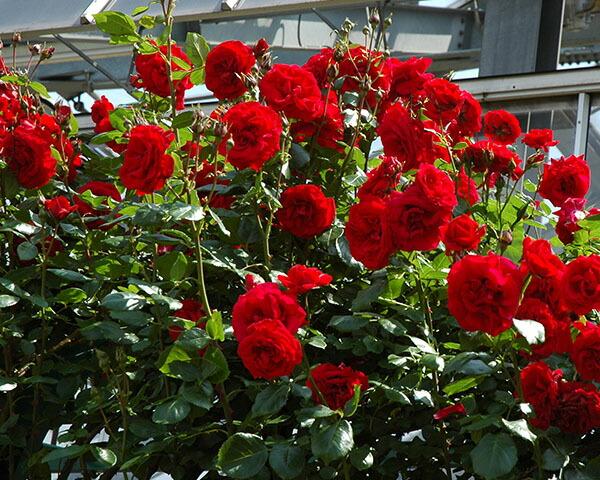 四季咲きの赤つるバラ「ウルメール ムンスター」のバラの苗