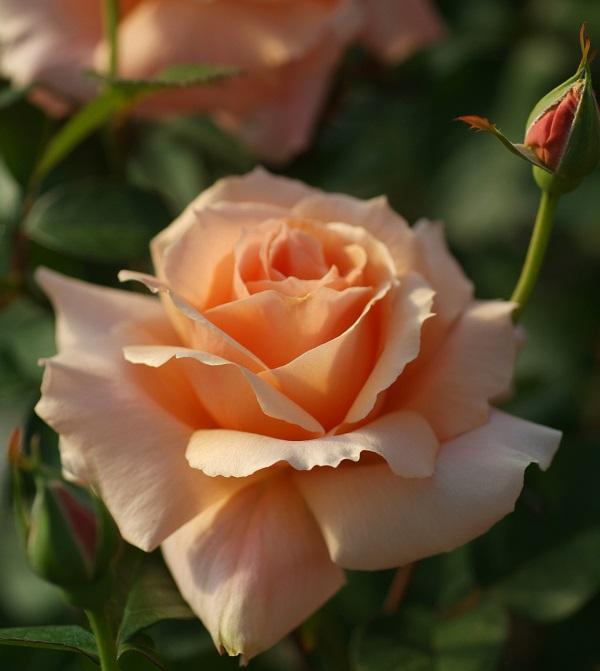 優しい色合いが人気のバラ、アプリコットキャンディのバラの苗