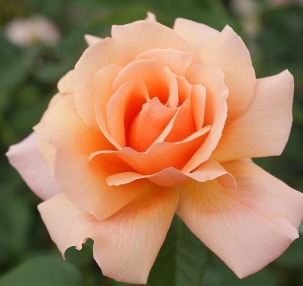 アプリコットキャンデーのバラの苗