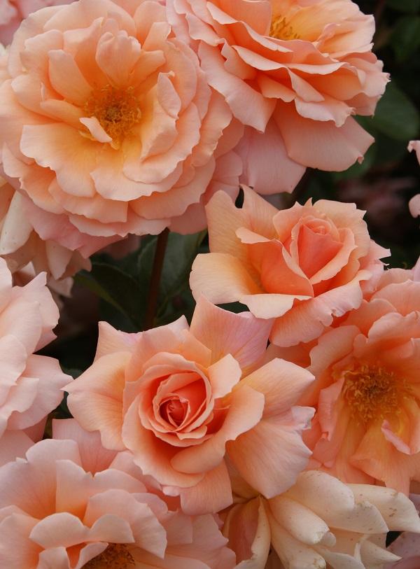 あぷりこっときゃんでぃのバラの苗