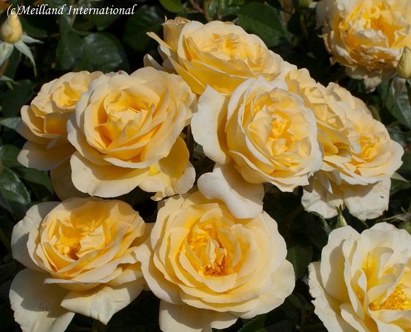 ベルサイユのばらのバラの苗 アンドレのバラ
