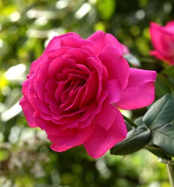 ベルサイユのばらシリーズ 王妃アントワネットのバラの苗