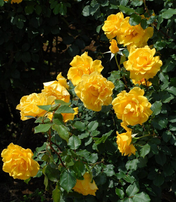 ヘンリーフォンダの黄色バラの苗 バラの写真