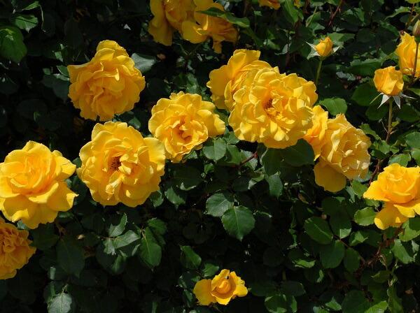 ヘンリーフォンダの黄色いバラ 人気のバラです