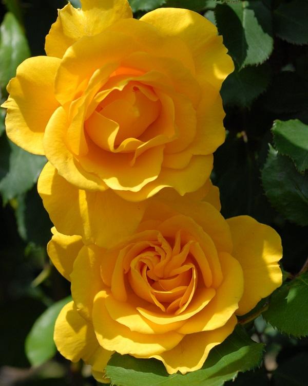 ヘンリーフォンダのバラの鉢、色あせない黄色が魅力のバラ