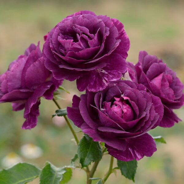 フレンチローズのバラの苗 ミステリューズ 人気